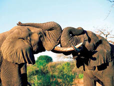 These Red Elephants of Tsavo are not a fighting, only exchanging greeteings!