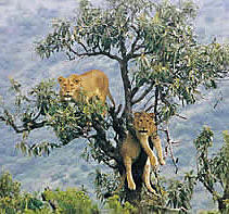 The tree climbing lions of Lake Manyara National Park